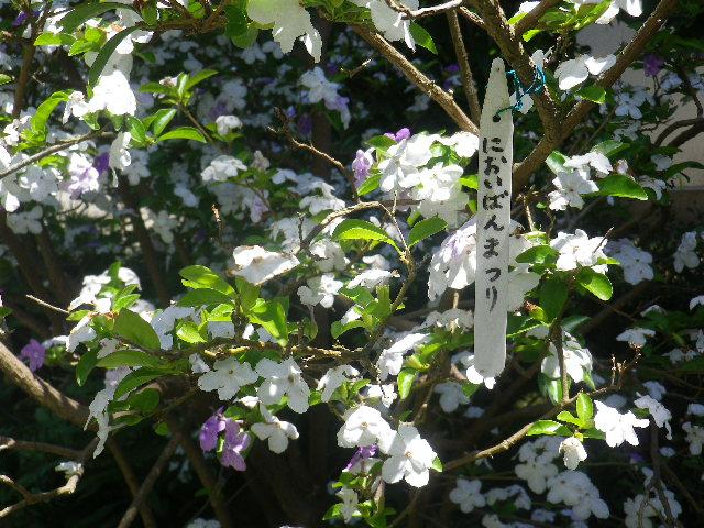 02-1)  ニオイバンマツリ _   17.05.29 鎌倉「大巧寺」イワガラミ咲いたよっ!