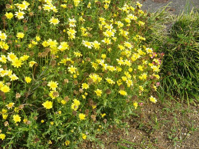 C03)   地面下が防火水利になっている花壇  17.06.14 鎌倉「光明寺」山門に向かって左側塀周辺の花