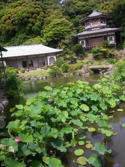 A02)  記主庭園     17.06.23 鎌倉「光明寺」記主庭園の蓮が咲き始めた
