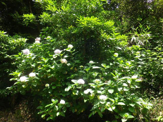 C03) 大殿裏の古道周辺の紫陽花     17.06.23 鎌倉「光明寺」記主庭園の蓮が咲き始めた