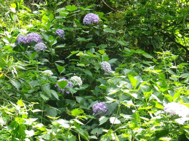 C04)  大殿裏の古道周辺の紫陽花    17.06.23 鎌倉「光明寺」記主庭園の蓮が咲き始めた