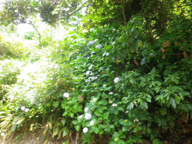 C05) 大殿裏の古道周辺の紫陽花     17.06.23 鎌倉「光明寺」記主庭園の蓮が咲き始めた