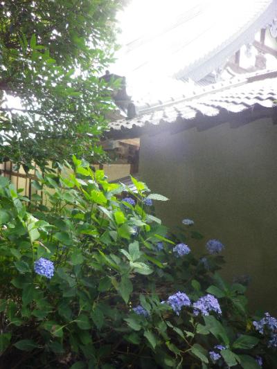 C08) 大殿裏の古道周辺の紫陽花     17.06.23 鎌倉「光明寺」記主庭園の蓮が咲き始めた