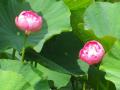 A03-2)  記主庭園     17.06.23 鎌倉「光明寺」記主庭園の蓮が咲き始めた