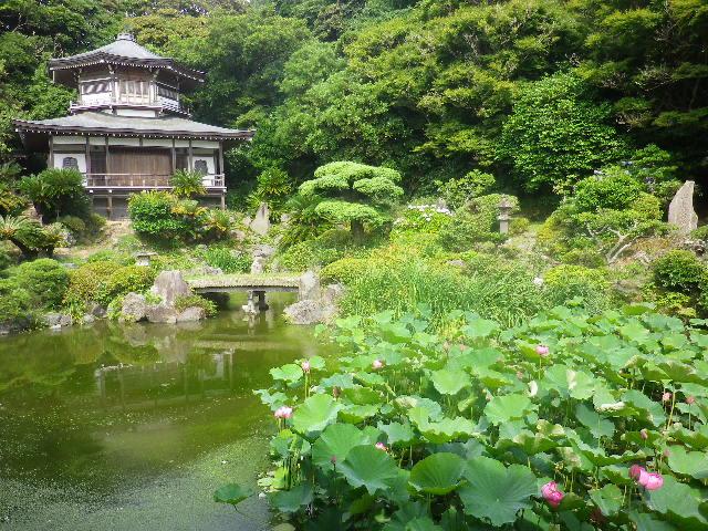 03-1) 17.07.03 鎌倉「光明寺」紫陽花に、蓮の開花が追いついて競艶。