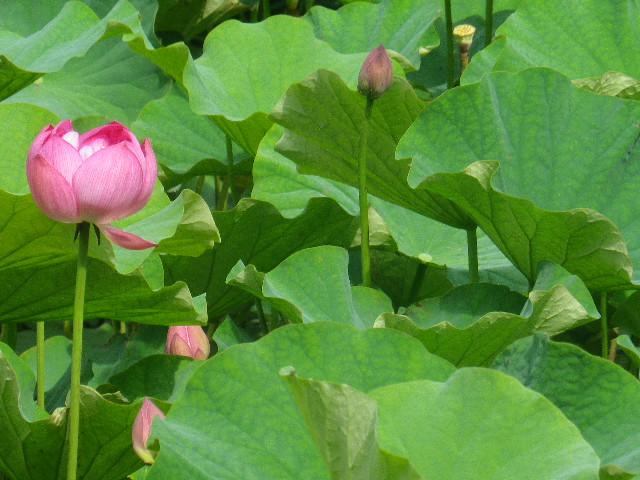 03-2) 17.07.03 鎌倉「光明寺」紫陽花に、蓮の開花が追いついて競艶。