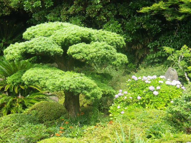 05-2) 17.07.03 鎌倉「光明寺」紫陽花に、蓮の開花が追いついて競艶。
