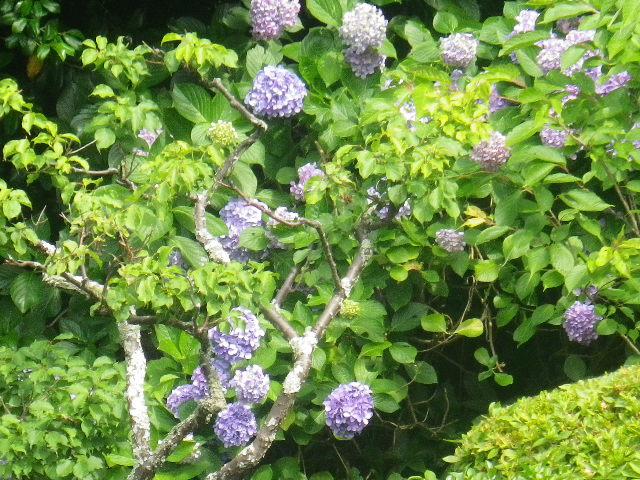 06-3) 17.07.03 鎌倉「光明寺」紫陽花に、蓮の開花が追いついて競艶。