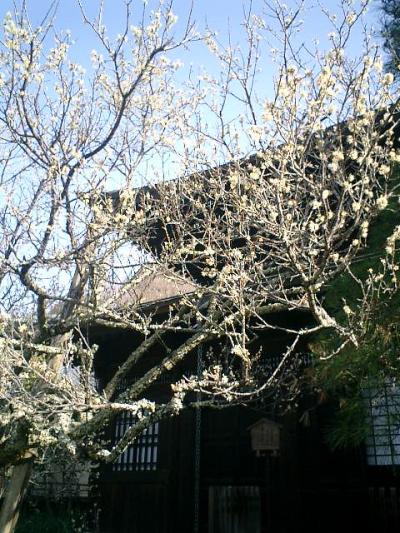 D03    07.02.21 鎌倉「瑞泉寺」梅の季節
