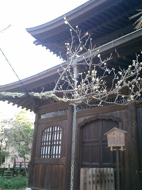 D08    07.02.21 鎌倉「瑞泉寺」梅の季節
