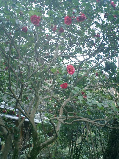 E09    07.02.21 鎌倉「瑞泉寺」梅の季節