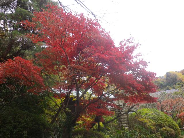 05-2)    17.11.30 鎌倉「浄光明寺」紅葉の頃