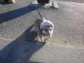 B02)    17.1.06 ペットのミーアキャットさんが飼い主さんと散歩していた