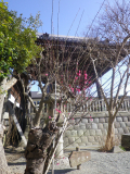 06-01) ' 鐘楼 ' から離れた前方、通路沿いの梅。幹の太さから、台風か強風で倒壊したのだろうか?それでも逞しく(たくましく)再生への枝を成長させている。  18.02.09 鎌倉「本覚