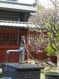01-1) 裏門塀沿い立入り不可区域の梅      18.02.09 18 鎌倉「大巧寺」 隔たったそれぞれの木に梅が咲きそろいましたヨ