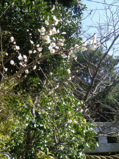 02)   18.02.15 鎌倉市大町の「八雲神社」私にとってココは八重桜見所。気づかれることなくショボい梅の花を、フェイク炸裂!で撮った。