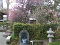 05) 18.02.23 鎌倉「本覚寺」境内の梅が咲き揃い、早咲き種の桜も見られた。