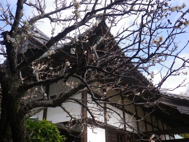 02-2) 18.02.23 鎌倉「浄光明寺」梅が咲く頃
