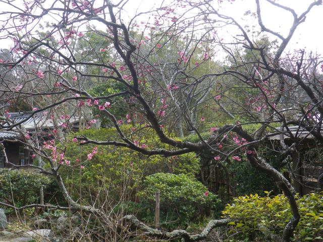 03-1) 18.02.23 鎌倉「浄光明寺」梅が咲く頃