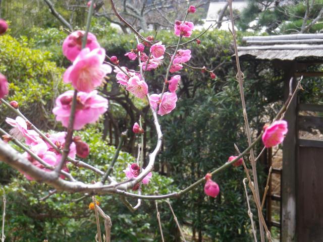 03-2) 18.02.23 鎌倉「浄光明寺」梅が咲く頃