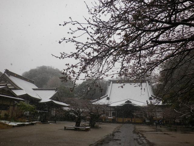 02-1)    18.03.21 雪が降る春彼岸中日の鎌倉「光明寺」開花開始直前!桜の蕾