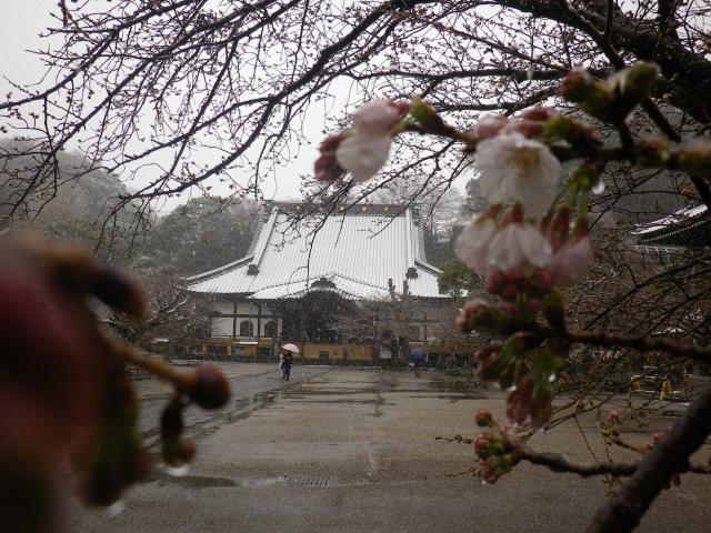 02-2)    18.03.21 雪が降る春彼岸中日の鎌倉「光明寺」開花開始直前!桜の蕾