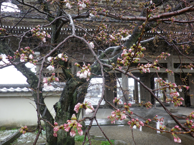 03)    18.03.21 雪が降る春彼岸中日の鎌倉「光明寺」開花開始直前!桜の蕾