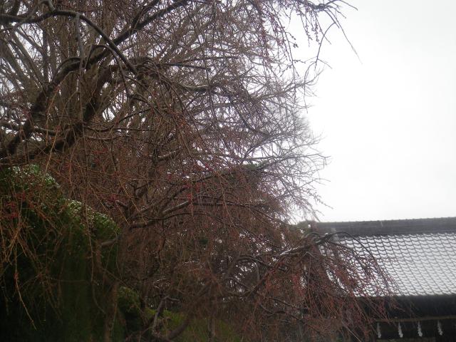 01)    18.03.21 鎌倉「長勝寺」桜の開花寸前に雪が降った春彼岸の中日