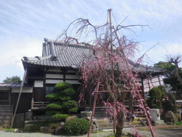 02-1)    18.03.24 鎌倉「本興寺」枯木の枝垂れ桜が咲いた