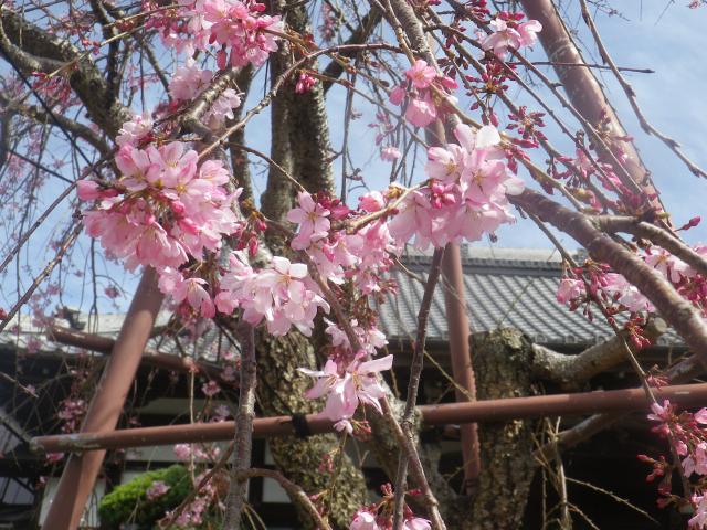 02-2)    18.03.24 鎌倉「本興寺」枯木の枝垂れ桜が咲いた