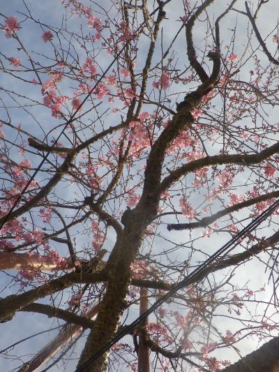 02-3)    18.03.24 鎌倉「本興寺」枯木の枝垂れ桜が咲いた
