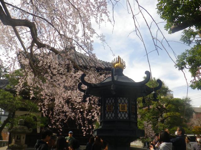 02-4)      18.03.24 鎌倉「本覚寺」の枝垂れ桜