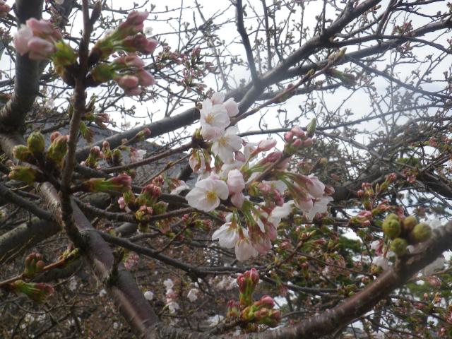 05-2)    18.03.24 鎌倉「光明寺」の桜が開花