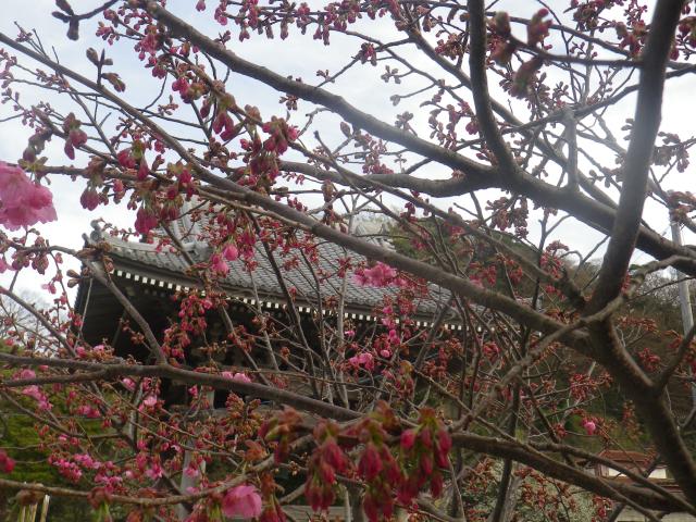 09-2)    18.03.24 鎌倉「光明寺」の桜が開花