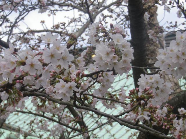 11-2)   18.03.24 鎌倉「光明寺」の桜が開花