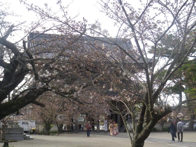 13-1)   18.03.24 鎌倉「光明寺」の桜が開花