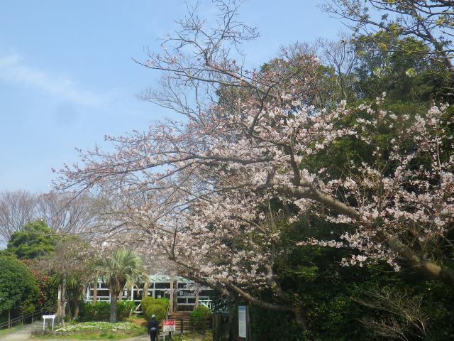 02)   18.03.27 逗子「披露山公園」の桜