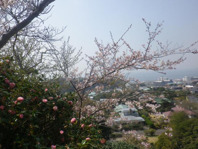 06)   18.03.27 逗子「披露山公園」の桜