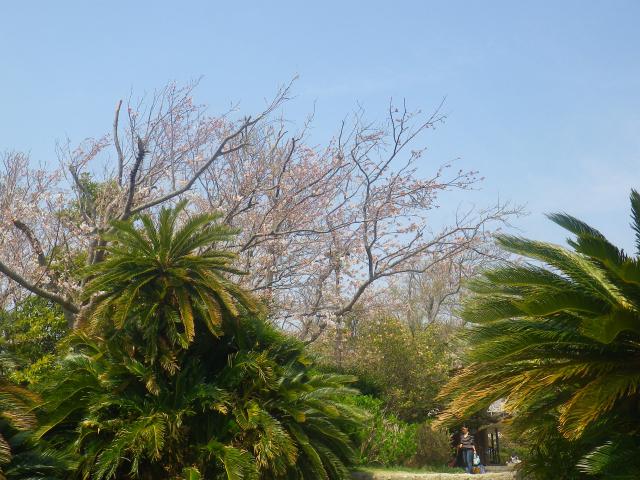 07)   18.03.27 逗子「披露山公園」の桜