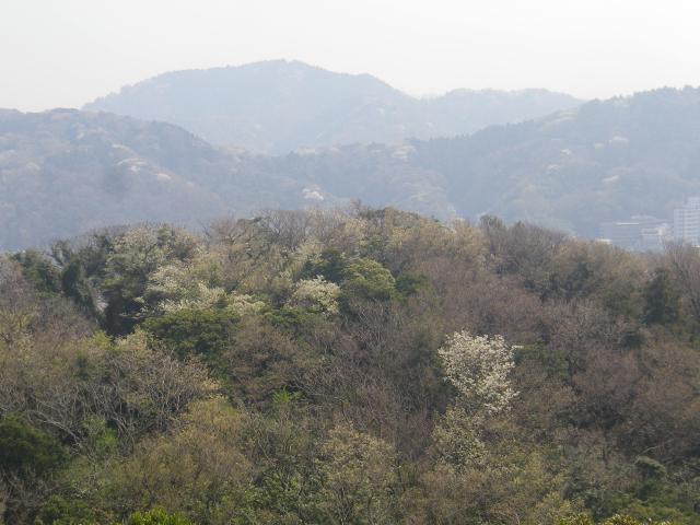 12)   18.03.27 逗子「披露山公園」の桜