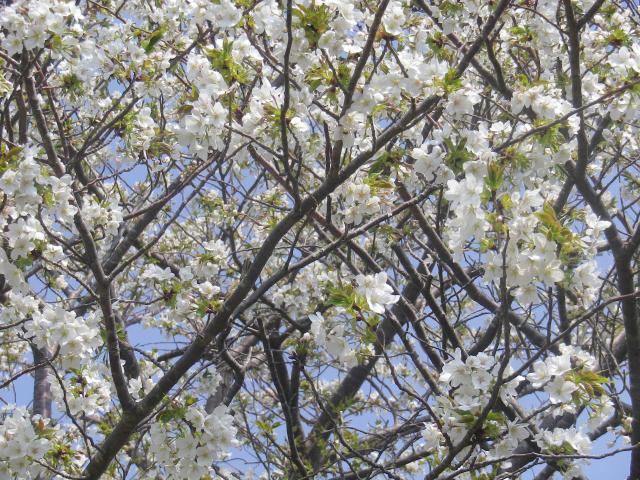 02-2)    18.03.27 逗子「大崎公園」の桜」」