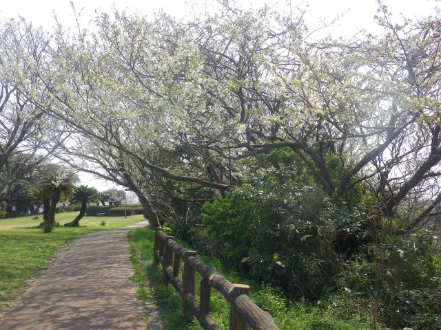 03)    18.03.27 逗子「大崎公園」の桜」」
