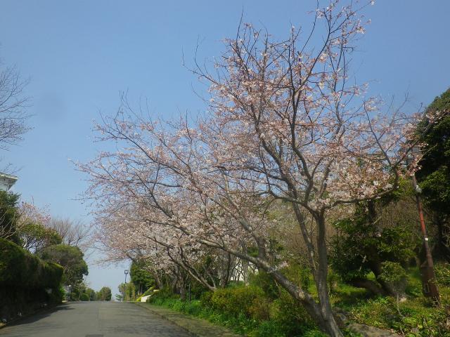 01)    18.03.27 逗子「披露山庭園住宅」の桜