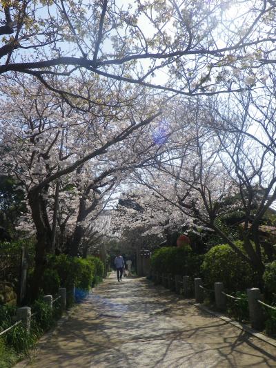 01)    18.03.28 鎌倉「宝戒寺」参道の桜