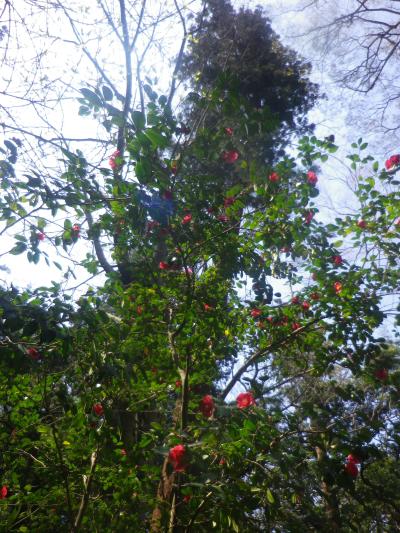 02)   18.03.28 鎌倉「妙本寺」の桜