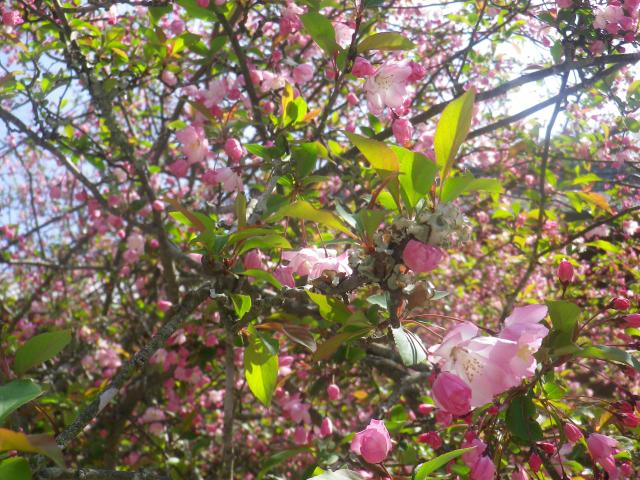 09-2) 海棠    18.03.28 鎌倉「妙本寺」の桜