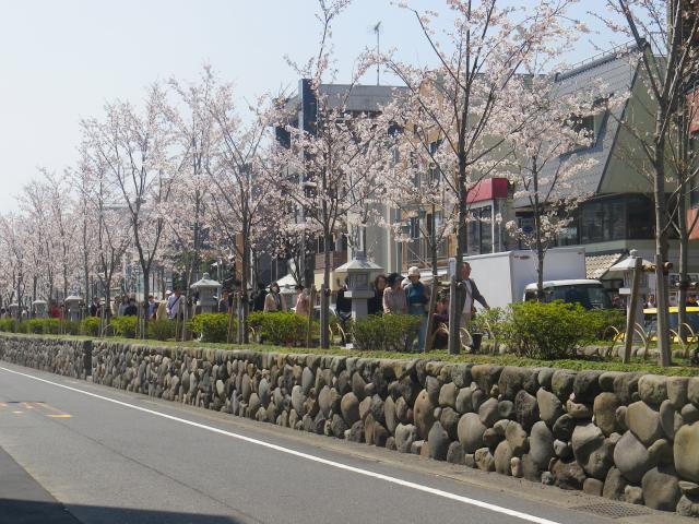 03-1)   18.03.28 鎌倉「鶴岡八幡宮」満開の桜