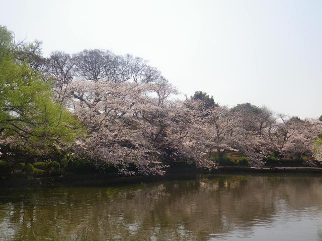 07)   18.03.28 鎌倉「鶴岡八幡宮」満開の桜