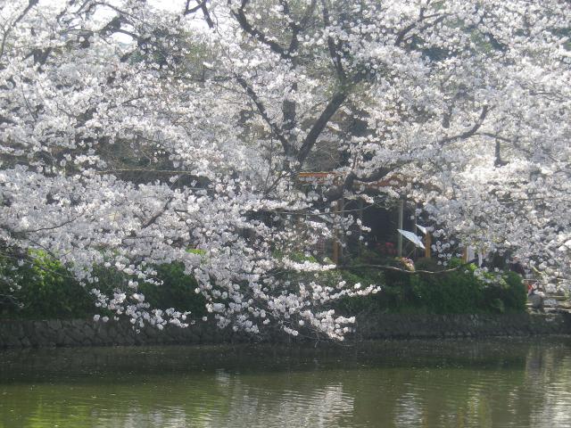 08)   18.03.28 鎌倉「鶴岡八幡宮」満開の桜