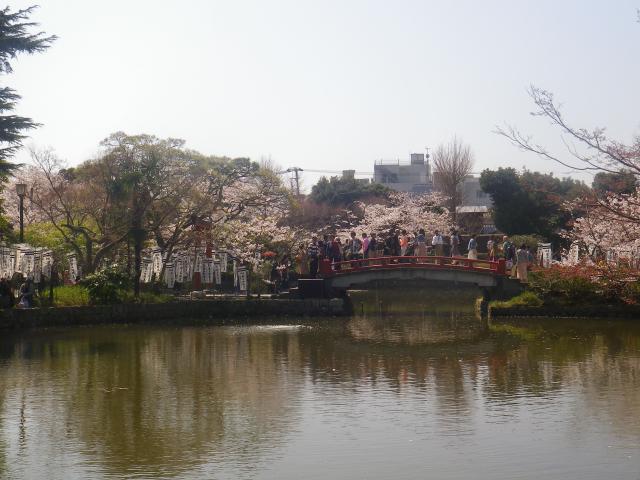 10)   18.03.28 鎌倉「鶴岡八幡宮」満開の桜